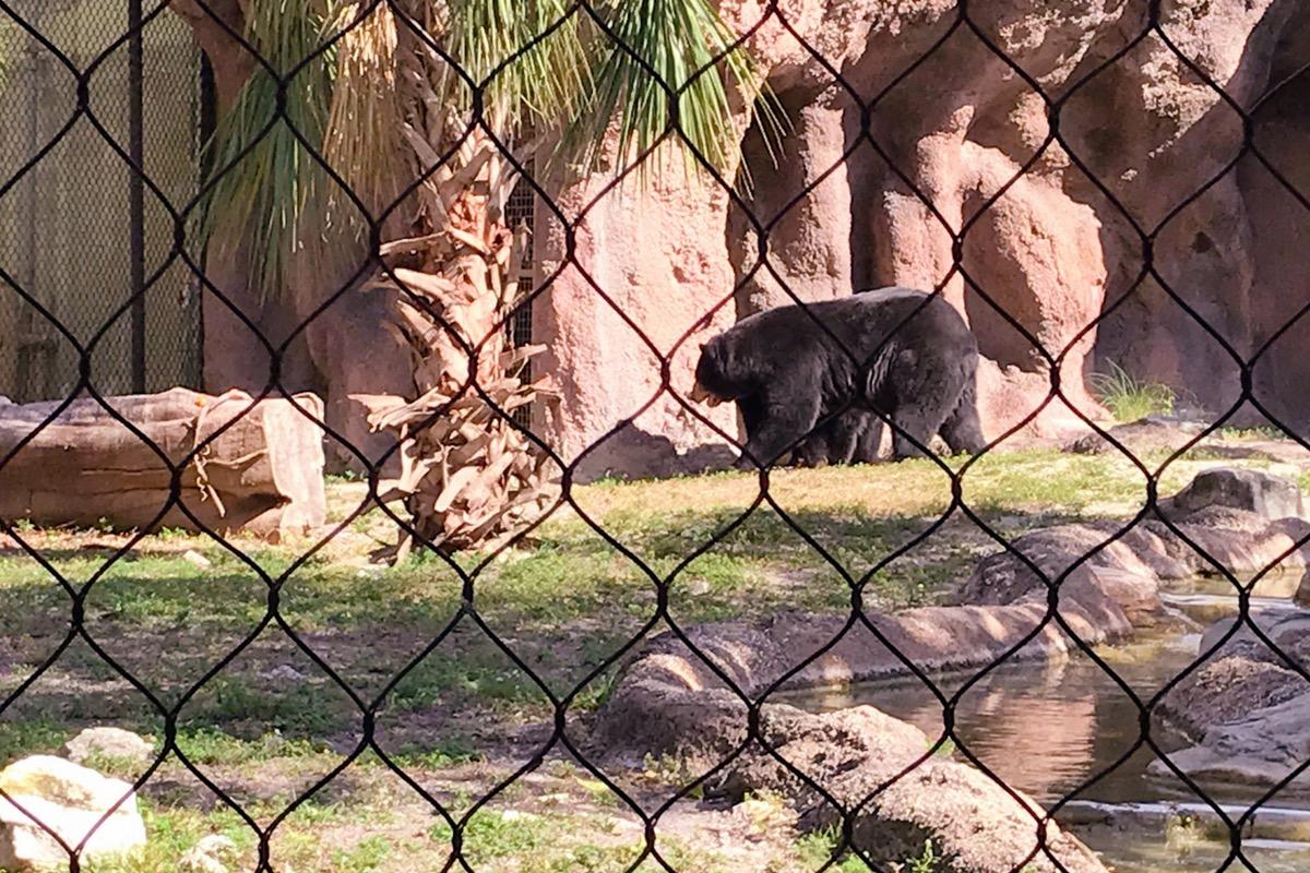 osos en el zoológico de palm beach lugares para visitar en florida